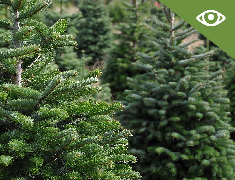 Winston-Farm-Christmas-Trees---Pick-your-own-Christmas-Tree