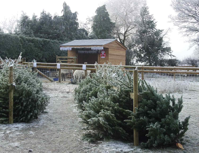 Christmas-Trees-Winston-Farm-reindeer-feeding