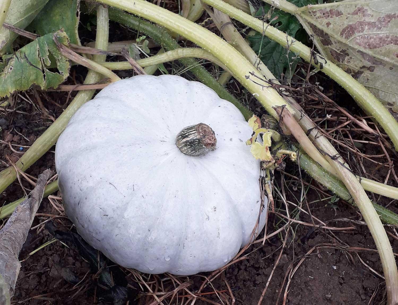 White-pumpkins-growing-at-winston-farm-pumpkin-patch