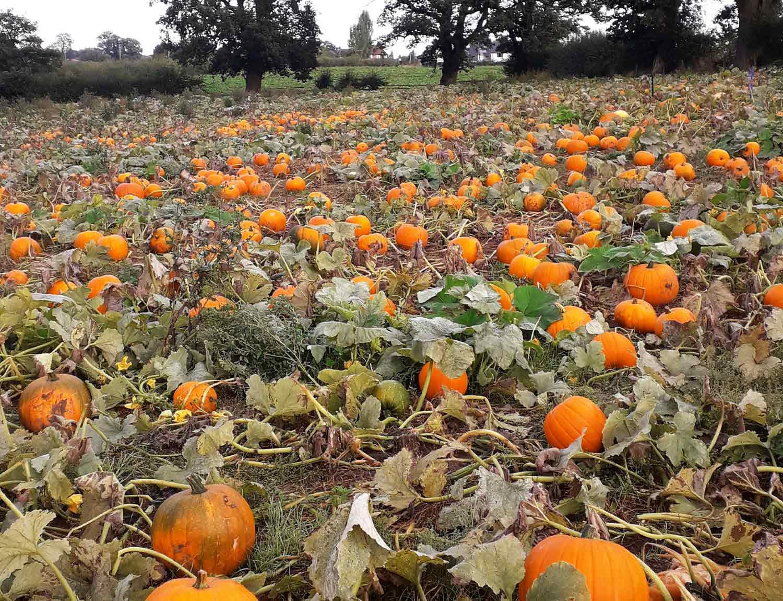 Winston-Farm-Pumpkin-Picking-Ellesmere