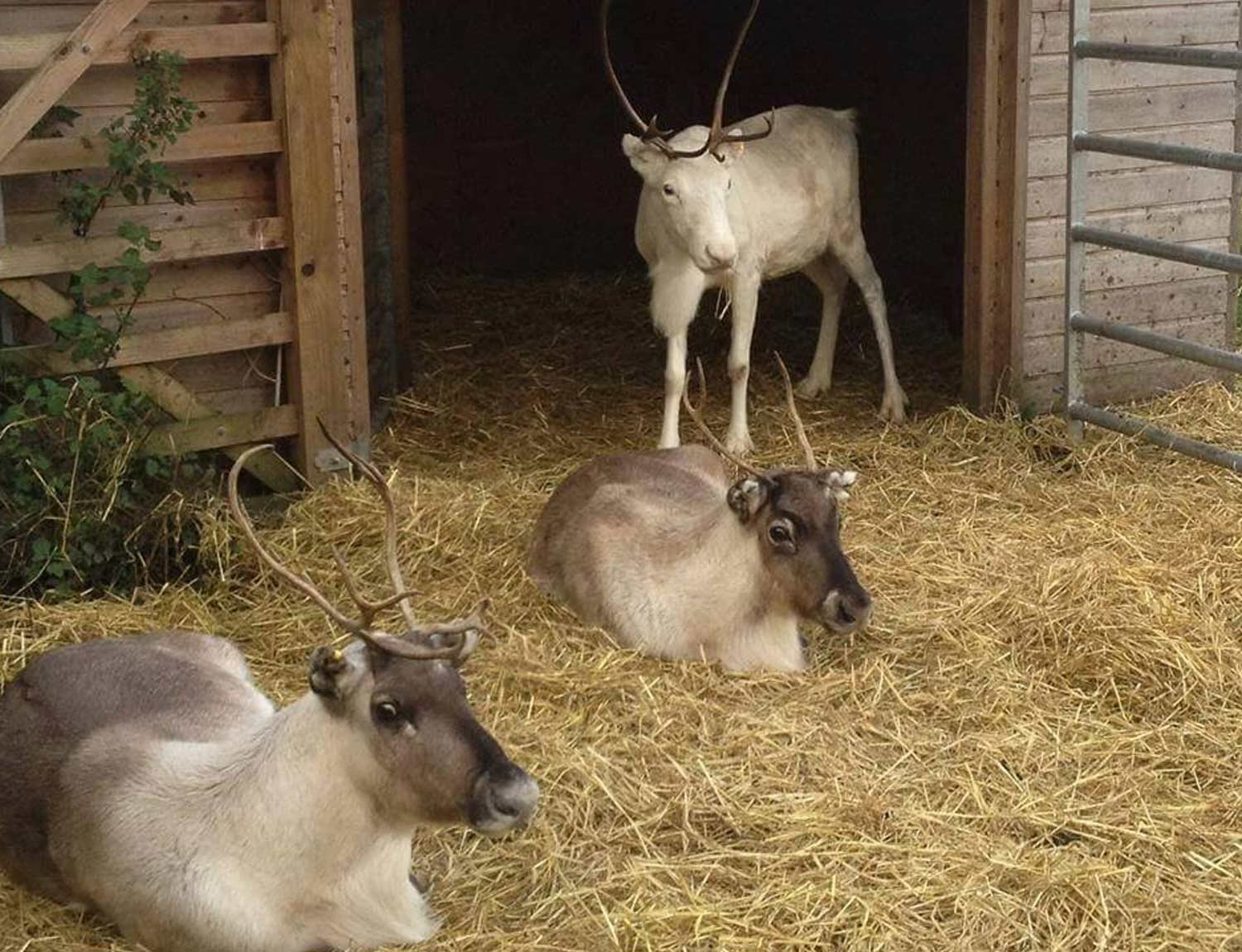 feed-the-reindeers-at-winston-farm-this-christmas