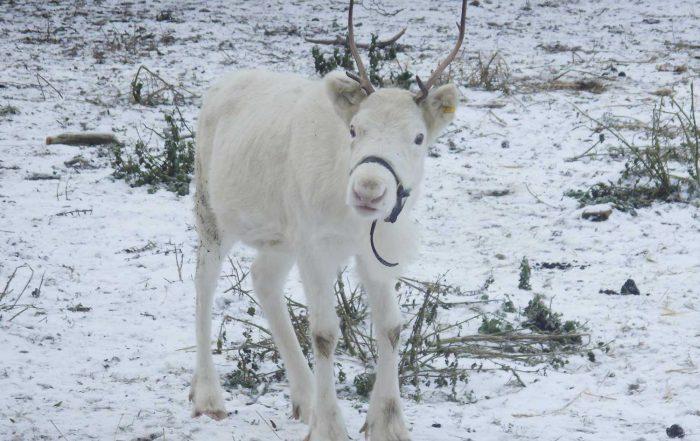 snowy-the-reindeer-at-winston-farm